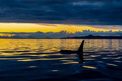 Orca at twilight