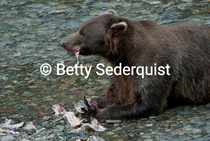 Bear Eating Salmon