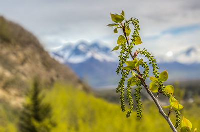 Tree Buds in front of Chugach Mountains, Palmer, Alaska