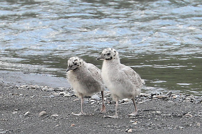 Pair of young gulls