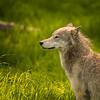 A Wolf's Gaze