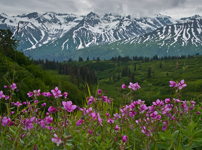 Haines Pass Fireweed 2