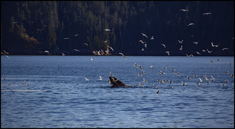 A Blue Whale grabbing dinner!