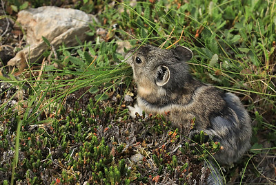 Pika collecting food for the winter