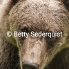 Brown Bear Closeup, Anan Creek