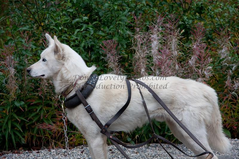 Denali National Park Sled Dog, Alaska