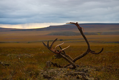 Tundra antlers