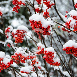 Snowy Mountain Ash