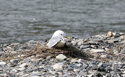 Mew gull on riverbank nest
