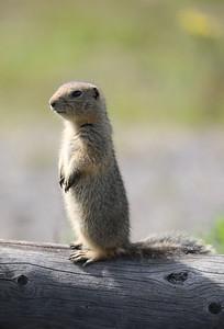 Squirrel on watch