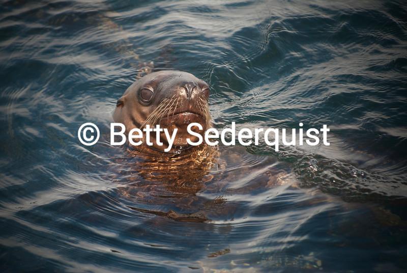 Steller Sea Lion, Alaska
