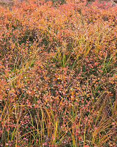 Alaska, Denali National Park, / Tundra in fall color, with dwarf birch, Betula nana, and sedges, Carex utriculata, shimmer in the autumn air. 905V3