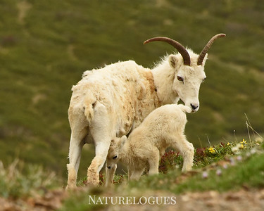 Dall Sheep with Lamb