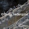 Black Legged Kittiwakes II, Marble Islands, Glacier Bay