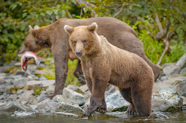 Photo Tour of Alaska: Brown Bears at Wolverine Creek