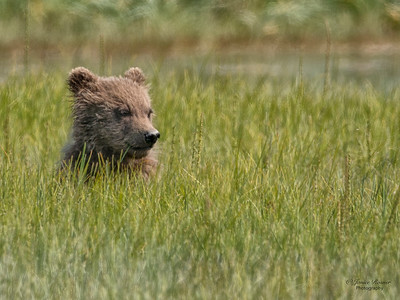 Kodiak cub in the grass