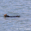 Sea Otter near Valdez