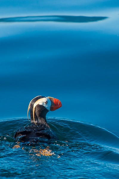 Photo Tour of Alaska: A puffin in the water