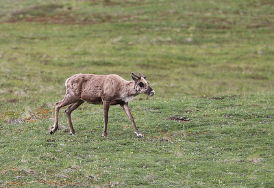 Young caribou