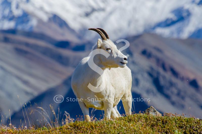 Dall Sheep Views