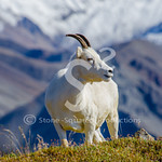 Dall Sheep Views
