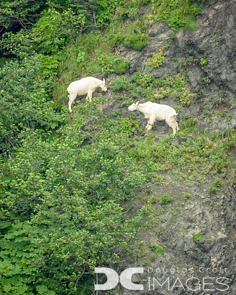 Mountain Goats Being Mountain Goats