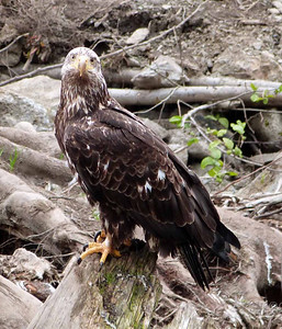 Juvenile eagle posing