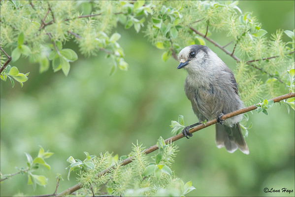 Canada Jay (formerly known as a Gray Jay)