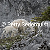 Mountain Goat Mom and Kid, Glacier Bay