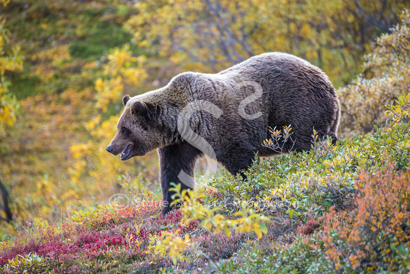 Tundra Colors Grizzly