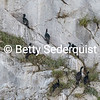 Nesting Pelagic Cormorants, Marble Islands, Glacier Bay