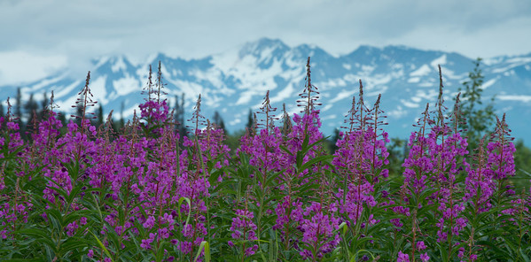 Haines Pass Fireweed