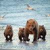 Mom and Three Cubs on Beach