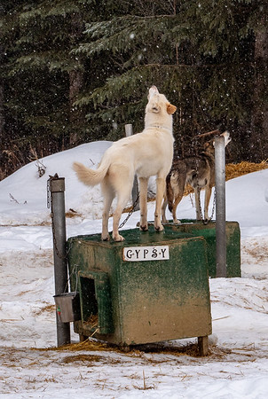 Howling huskies