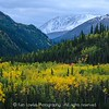 Denali forest, autumn colors