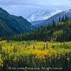 Denali forest, autumn colors