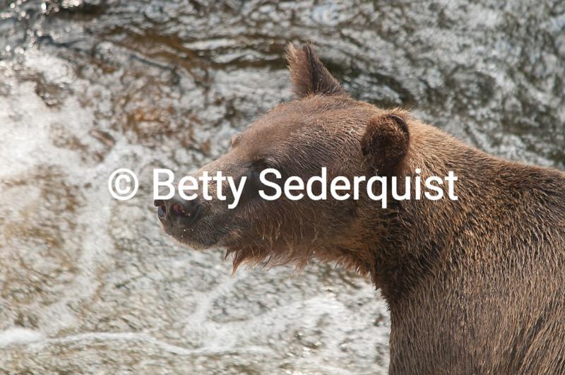 Brown Bear, Anan Creek, Alaska