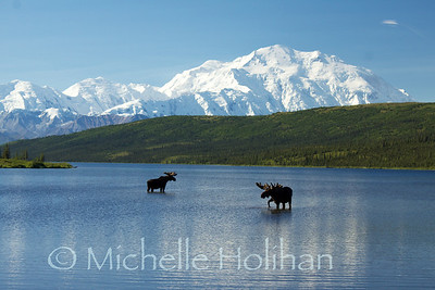 Bull Moose in front of Denali