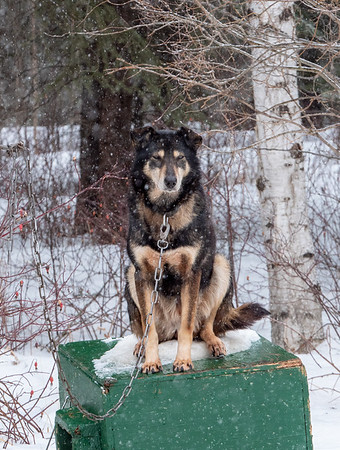 Patient sled dog