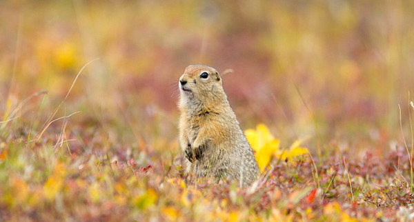 Arctic ground squirrel in fall tundra, Denali National Park