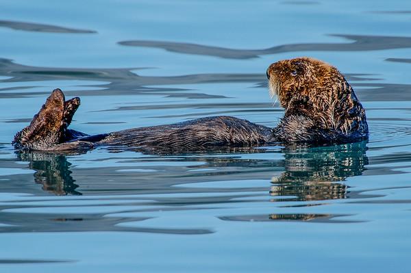 Photo Tour of Alaska: Otter