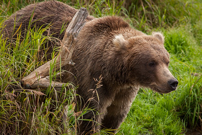 Grizzly, Katmai National Park