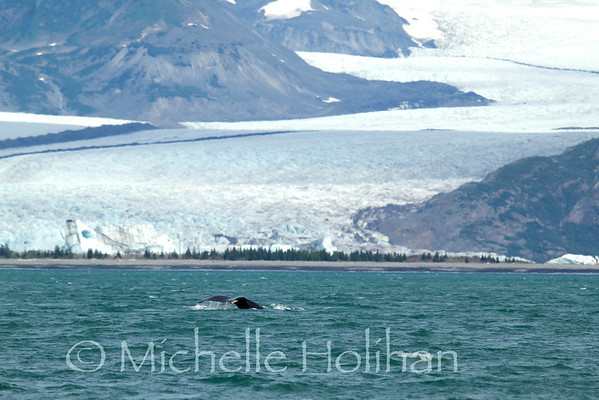 Whale Fluke in front of Bear Glacier