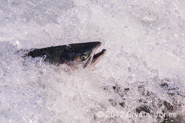 Salmon near Valdez