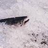 Salmon near Valdez