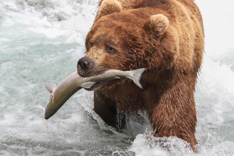 Alaskan Brown Bear (Ursus arctos)