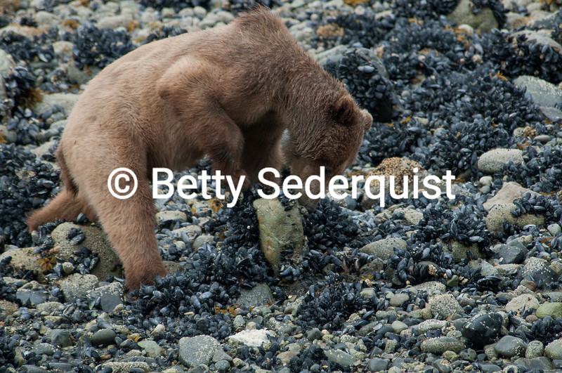Brown Bear at Tideline