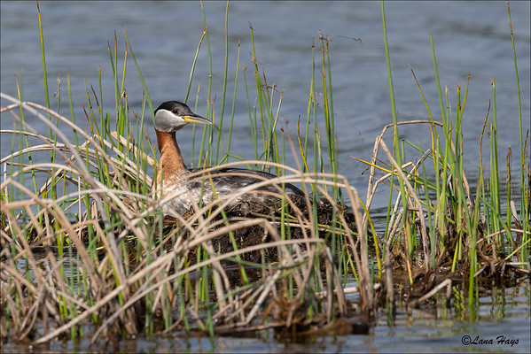 Red-necked Grebe on nest