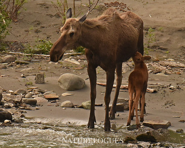 Nursing Moose and Young