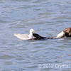 Seagull about to steal salmon from a sea otter, near Valdez